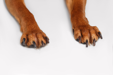 Paws of Brown Toy Terrier on White Background
