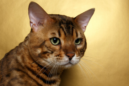luxery: Closeup Bengal Cat with green eyes on Gold background Stock Photo