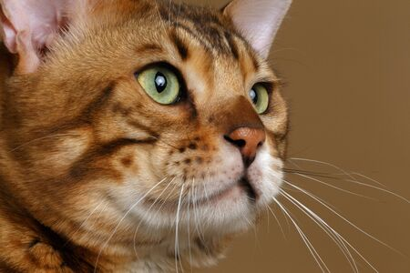 luxery: Closeup Profile Bengal Cat on Brown background Stock Photo
