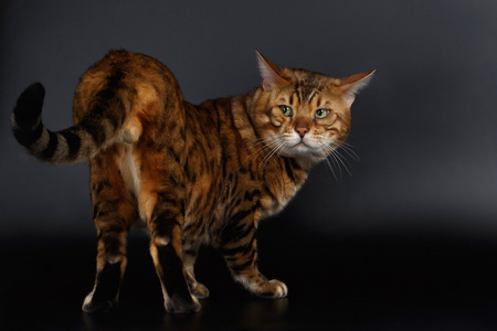 luxery: Bengal Cat looking back on his tail on Black Background