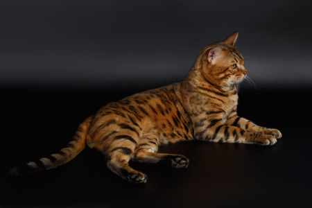luxery: Bengal Cat Lies on Black Background and looking at right