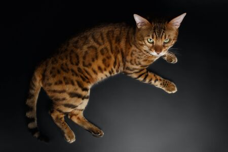 luxery: Top View of Bengal Cat on Black Background Stock Photo