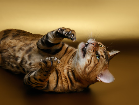luxery: Bengal Cat playing shows cluws on Gold background Stock Photo