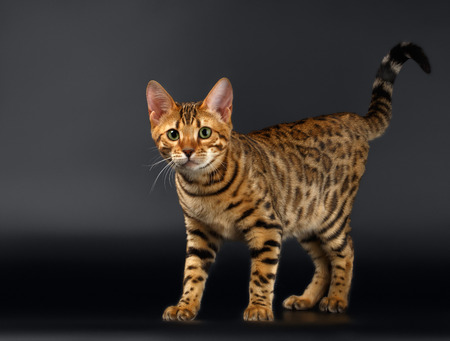 Bengal Cat Stads and Curious Looking in Camera on Black background photo