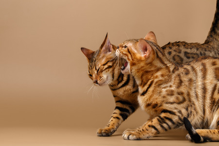 Two Bengal Cats Hissing on Brown Background Reklamní fotografie - 39564643