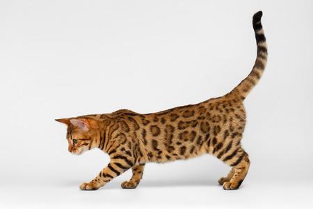 Bengal Cat playful walking on White background