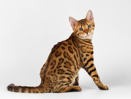 Bengalen kat zit op witte achtergrond en kijken in de camera