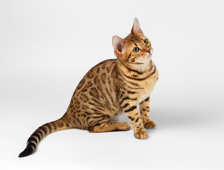 leopard cat: Bengal Cat Sits on White background and Looking up