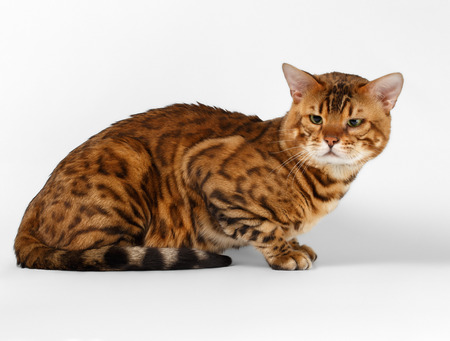 luxery: Bengal Cat lies on White background and Looking in camera