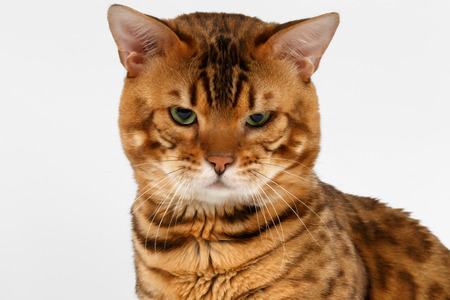 luxery: Closeup Bengal Cat with green eyes on White background Stock Photo