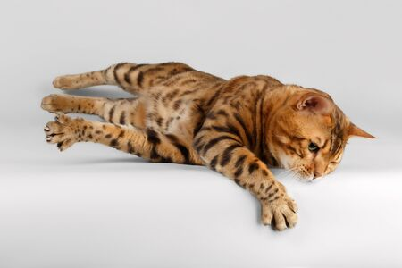 luxery: Bengal Cat lies on White background and raising Paw