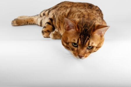 luxery: Bengal Cat lies on White background and Looking down