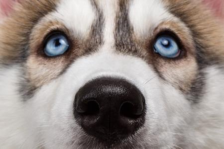 Close-up met blauwe ogen Neus Siberische Husky Puppy Stockfoto
