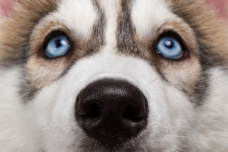 Closeup Blue Eyes with Nose Siberian Husky Puppy