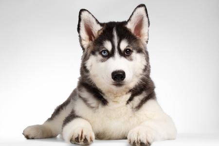Siberische Husky Puppy Lies geïsoleerd op witte achtergrond
