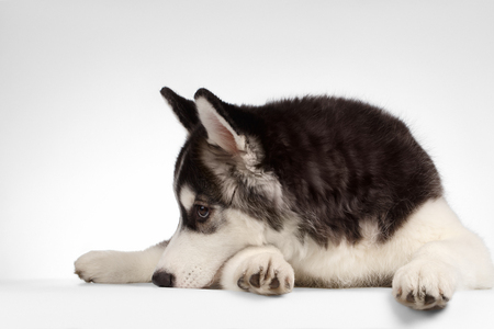 misses: Siberian Husky Puppy Lies and misses isolated on White background