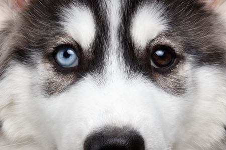 Closeup Siberian Husky Puppy with Different Eyes 版權商用圖片