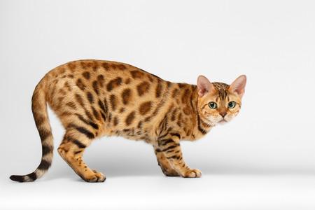 crouching: Crouching Bengal Cat on White Background, Profile view Stock Photo