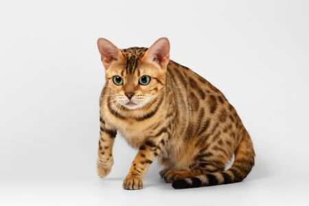 crouching: Crouching Bengal Cat with Green Eyes on White Background Stock Photo