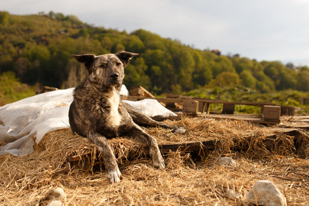 lies: Mixed Breed Dog Lies Outdoor on Mountain Background Stock Photo