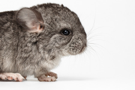 lanigera: Gray Baby Chinchilla in Profile View on white  Background