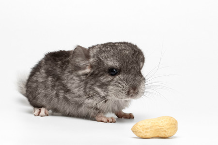 hetero: Gray Baby Chinchilla with Peanuts on white  Background