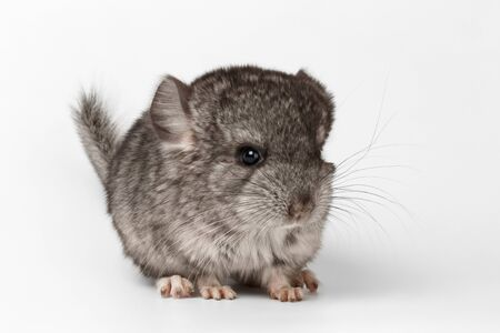 lanigera: Gray Baby Chinchilla in Profile View on white  Background