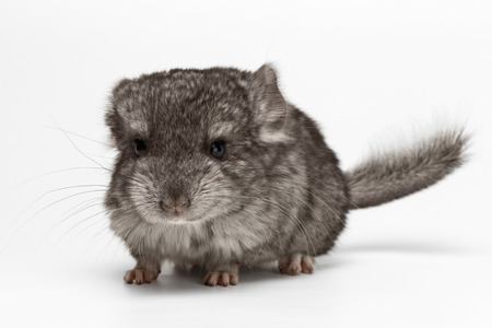 Gray Baby Chinchilla Loocking in camera on white Background Stock Photo