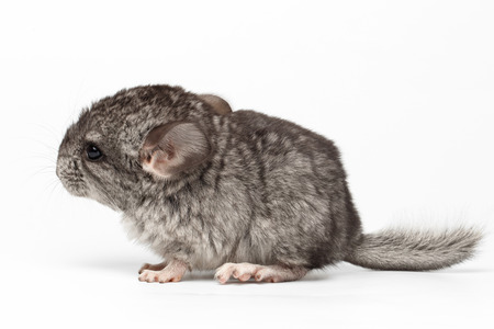 Gray Baby Chinchilla in Profile View on white  Background