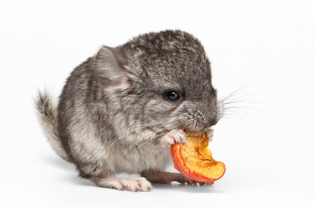 reproduction animal: Gray Baby Chinchilla Eating Apple on white Background