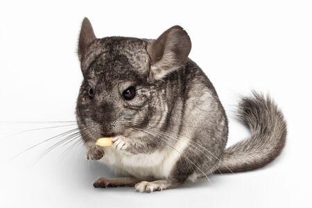 evaluable: Close-up Chinchilla Eating Peanuts on white Background Stock Photo