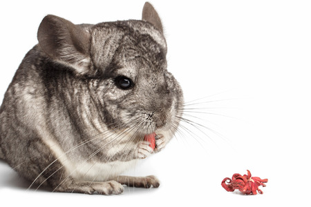 Chinchilla Eating Bergamont on white Background, Front View Stock Photo