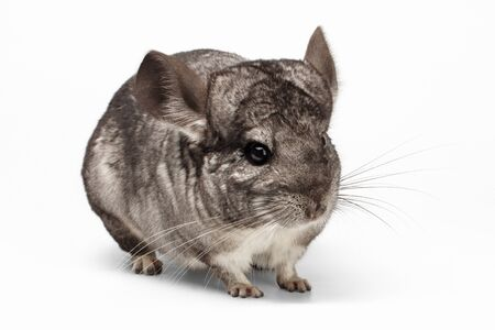 Closeup Chinchilla in Profile View on white Background