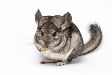 Close-up Chinchilla Eating Peanuts on white Background Stock Photo