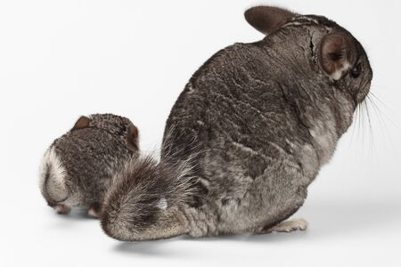 Tails of Big and Little Chinchilla on white Background