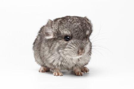 evaluable: Gray Baby Chinchilla Loocking in camera on white Background Stock Photo