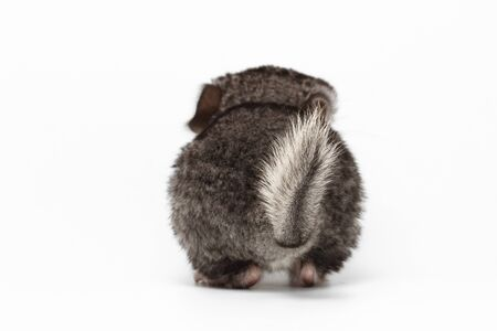 Tail of Gray Baby Chinchilla on white Background