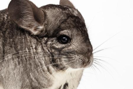 evaluable: Closeup Chinchilla in Profile View on white Background