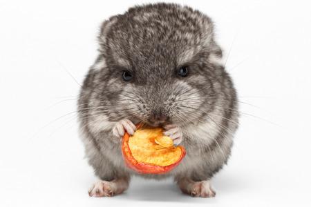 Grijs baby Chinchilla Eating Apple op een witte achtergrond, vooraanzicht