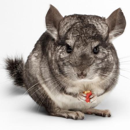 Close-up Chinchilla eten van pinda's op een witte achtergrond