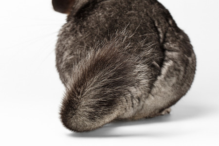 evaluable: Tail of Gray Chinchilla on white Background