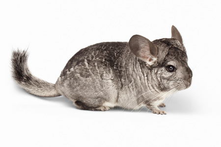 Closeup Chinchilla in Profile View on white Background Reklamní fotografie - 40236420