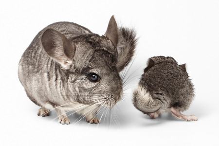 Big and Little Chinchilla on white Background