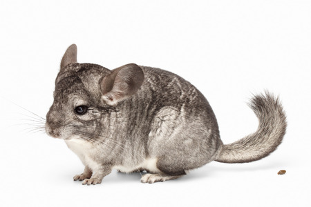 Chinchilla in Profile View and Her Poo on white Background