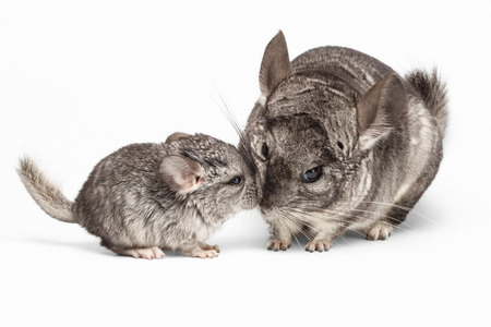 animal eye: Kissing of Mama and Baby Chinchilla in Front View on white Background