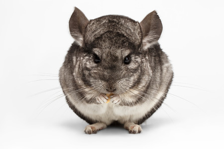 Closeup Chinchilla in Front View on white Background