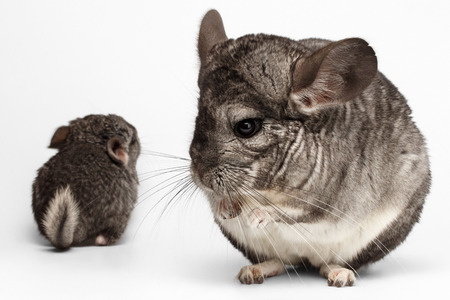 hetero: Closeup Mama and Baby Chinchilla in Front View on white Background Stock Photo