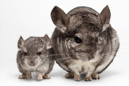Closeup Mama and Baby Chinchilla in Front View on white Background Stock Photo