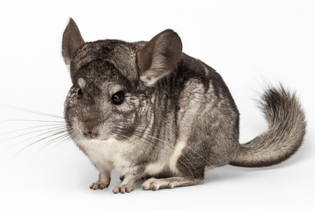 lanigera: Closeup Chinchilla in Front View on white Background