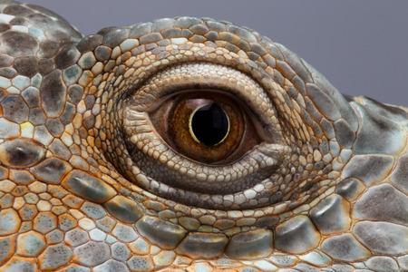 dinosauro: Primo piano degli occhi di Green Iguana, Sembra un drago Archivio Fotografico